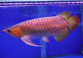 AA Grade Super Red Arowana