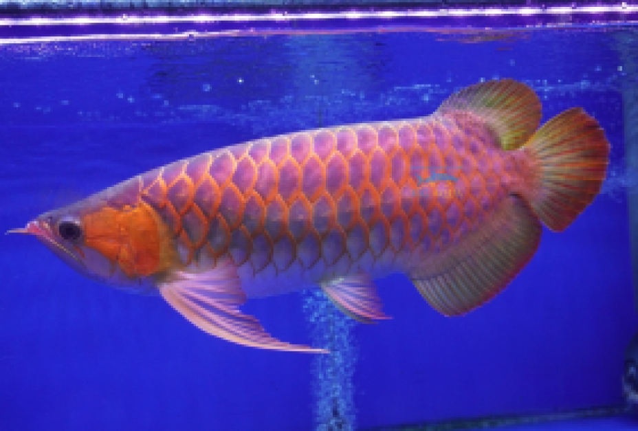 Captive Breed Fishes AA Grade Super Red Arowana super red arowana aa grade